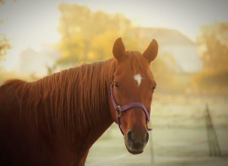 Gros plan tête d'un cheval