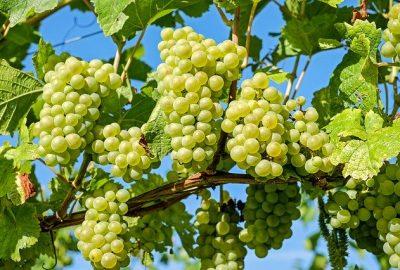 Grappes de raisins - vigne -Pixabay
